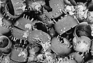 Diatomaceous Earth Diatoms