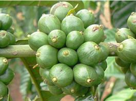 Green-Coffee-Bean-Extract