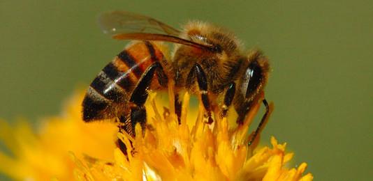 bee-pine-pollen