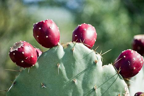 Litramine prickly-pear-cactus
